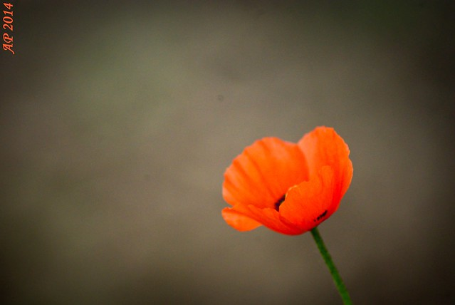 Lonely Poppy