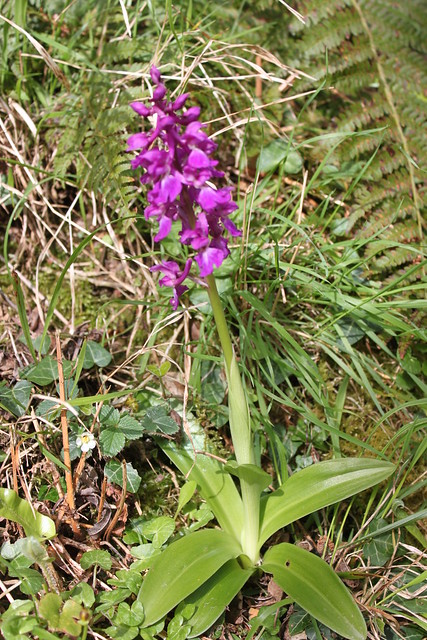 20140410_3231-early-purple-orchid