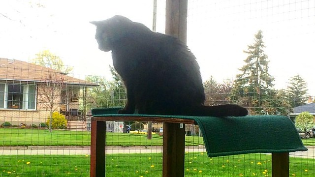 Add a shelf, cat will perch. #catsofinstagram #catio #catenclosure