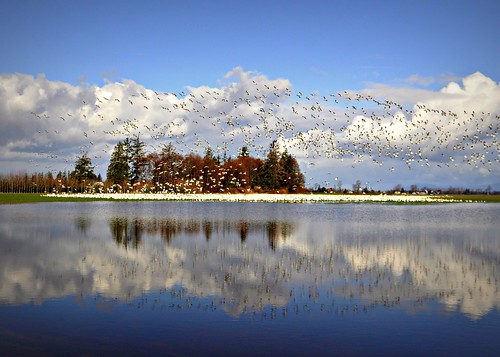 02-26-12 Snow Geese and Flooded Field by roswellsgirl