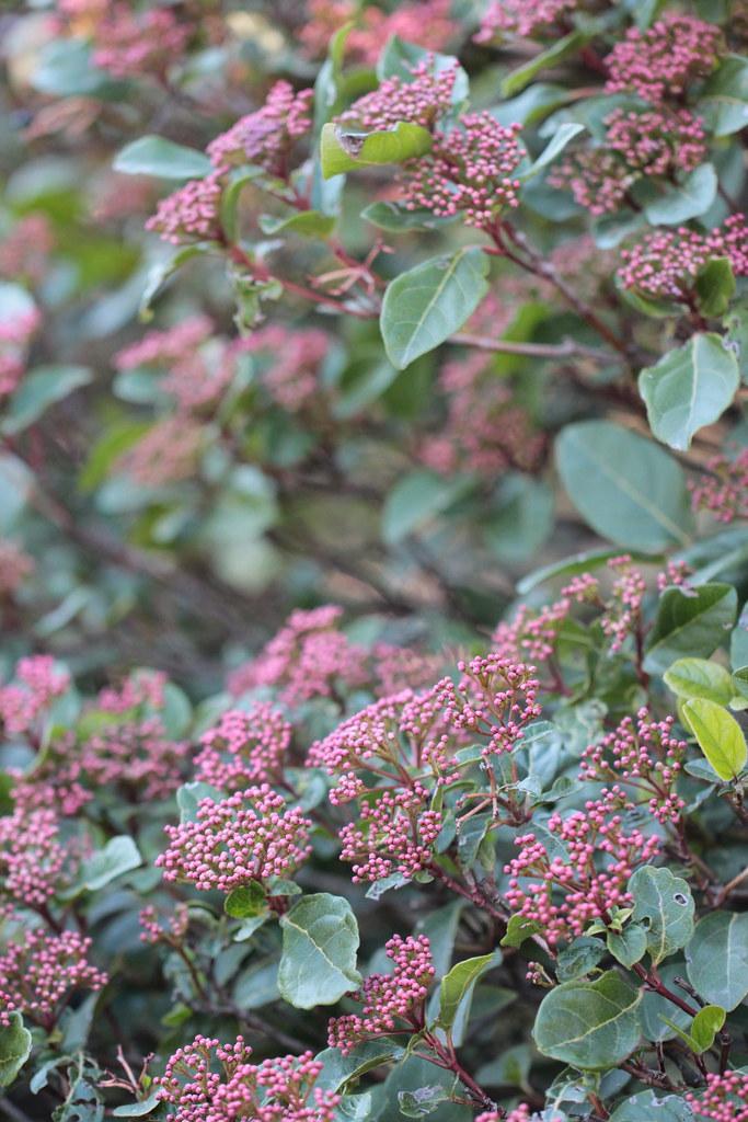 pink bushes