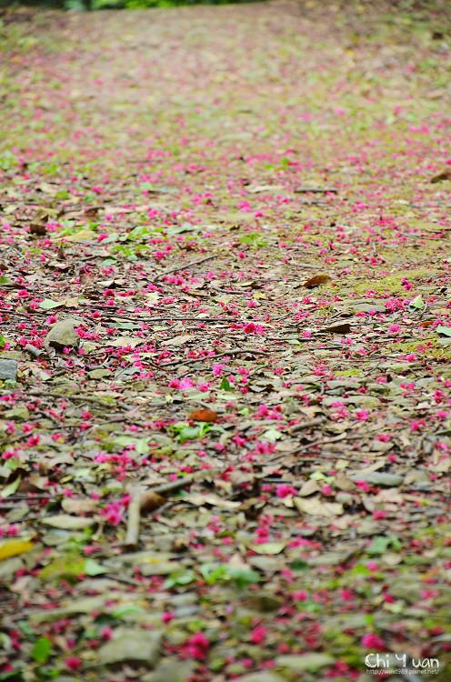 桃源仙谷-櫻花林10.jpg