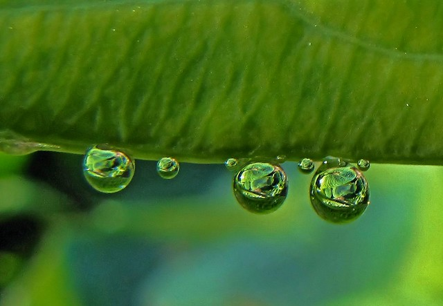 Water drops on hosta leaf