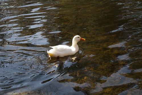 Duck on Lake Fulmor