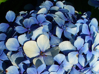 ¡¡Feliz quinta flower!! . Hydrangea flower for You!