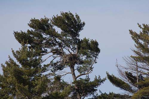 Bald Eagle nest at Duluth East High School