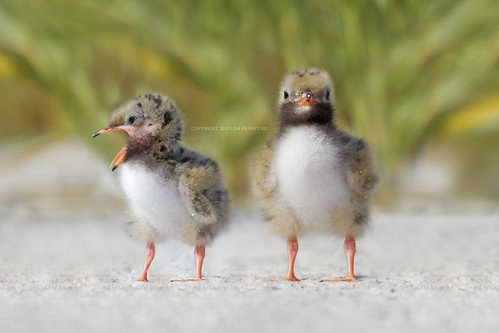 Common Tern Chicks by Lisa Franceski