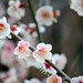 Cute plum blossoms