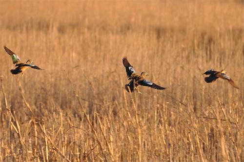 usa bird duck nc northcarolina anas bluewingedteal anasdiscors hydecounty lakemattamuskeetnationalwildliferefuge taxonomy:common=bluewingedteal taxonomy:binomial=anasdiscors