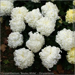 Chrysanthemum 'Boulou White' - Chryzantema