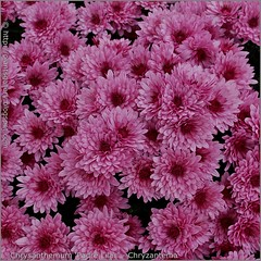 Chrysanthemum 'Padre Lilac' - Chryzantema