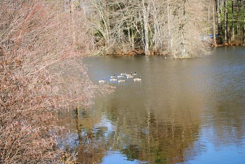 statepark park bird water geese pond goose delaware laurel laurelde trappondstatepark sussexcountyde