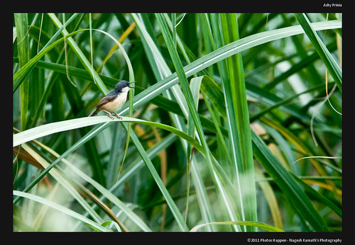travel bird birds weekend wildlife birding brhills kgudi birdphotography ashyprinia priniasocialis biligirirangan