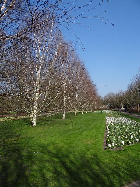 Betula utilis 'Doorenbos' - Keukenhof - Lisse {maart 2012}