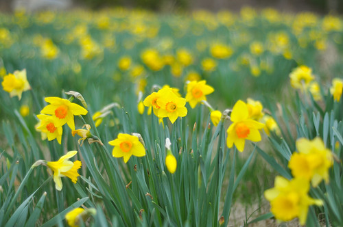 Corrected Daffodils