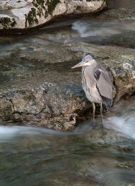 heron in river slow shutter