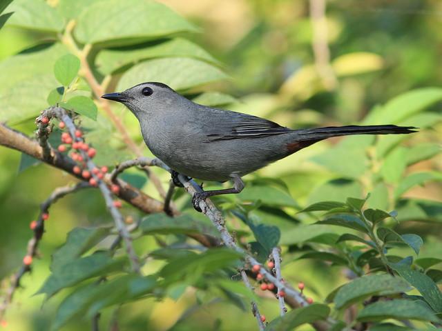 Gray Catbird 3-20120218