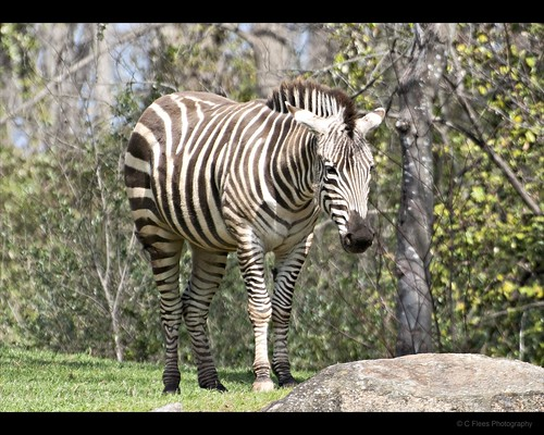 Zebra Rock by cmichaelflees