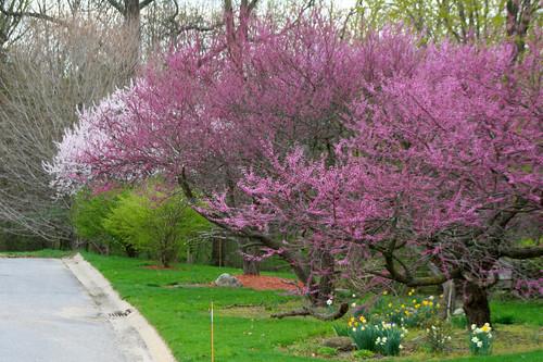 spring blossoms viii