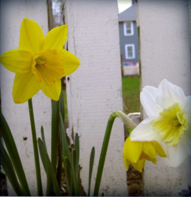 daffodils in belmont, ma