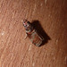 Small photo of Trachycera advenella. Pyralidae.