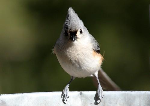 Angry Bird by Izabella U