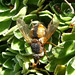 Small photo of Tachina fera. Tachinidae