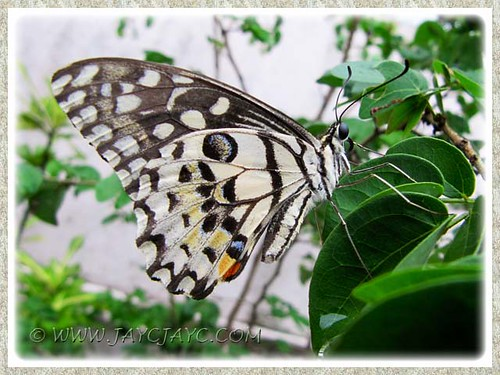 Papilio demoleus (Lime Butterfly),  a frequent visitor to our garden - Feb 20 2012
