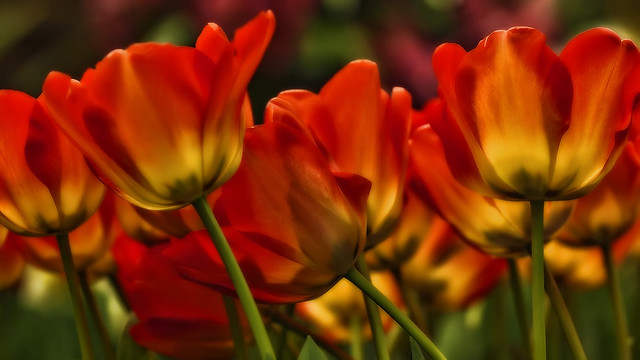 First tulips 2012 for David Gilmour BD