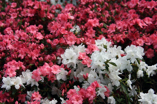 Azaleas by Flower Factor