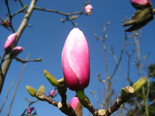 Magnolia pink against the blue