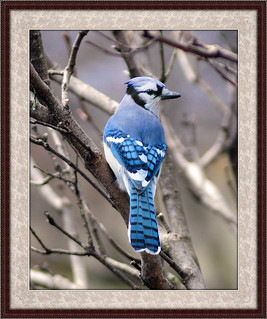 Blue Jay Sits For Portrait