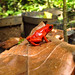 Beautiful poisonour strawberry dart frogs are everywhere at the Botanic Gardens in Puerto Viejo, Costa Rica 29APR12