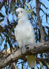 Sulphur-crested Cockatoo DSC_0399