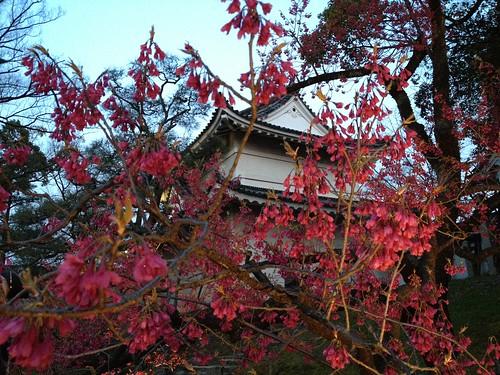 二条城の門と桜