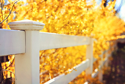 {Golden} Fence Friday