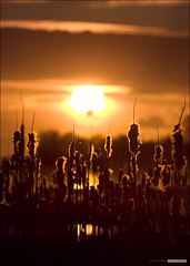 Bulrush Sunset