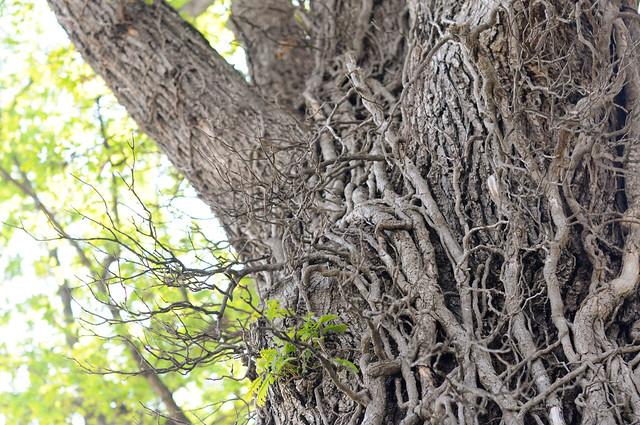 Elkton Bur Oak