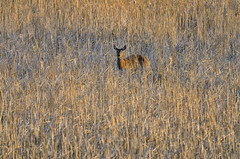 Deer-7173-.jpg by Mully410 * Images