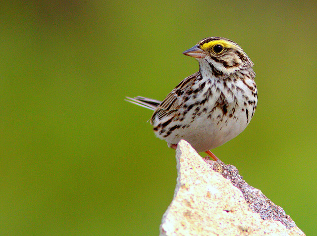 Savannah Sparrow 3-20120506