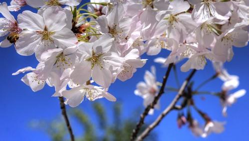 pink spring raw fav50 blossom bee cherryblossom sakura hdr hakonegardens photomatix 1xp nex6