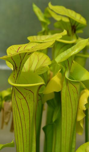 Photo Plantes--carnivors ( Sarracenia ) 14006824044_d4f210d2d9