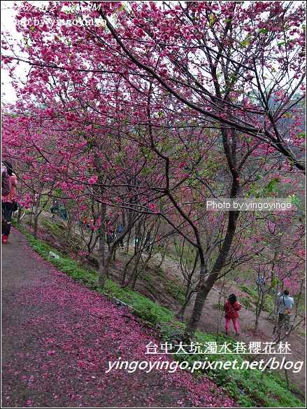 台中市北屯_大坑濁水巷櫻花林20120225_R0059952