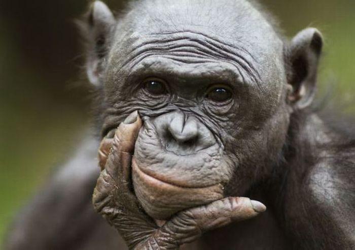 Congo Basin Chimpanzee