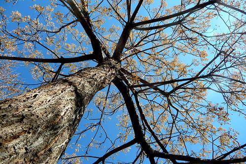 Melia azedarach (sin. M. australis, M. japonica, M. sempervivens), Agriaz, el paraíso sombrilla o árbol del paraíso