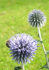jasione montana(0.0), vegetable(0.0), food(0.0), silybum(0.0), flower(1.0), thistle(1.0), plant(1.0), herb(1.0), wildflower(1.0), flora(1.0), produce(1.0), onion genus(1.0),