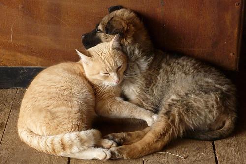 [フリー画像素材] 動物 1, 猫・ネコ, 犬・イヌ, 子犬・小犬, 寝顔・寝姿 ID:201203101600