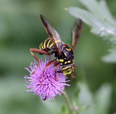 Diptera : Syrphidae