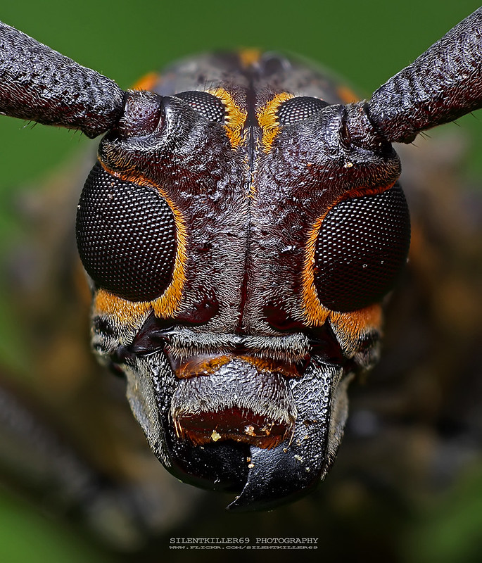 Longhorn Beetle
