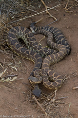 Pair of Southern Pacific Rattlesnakes